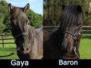 Baron en Gaya verkocht!